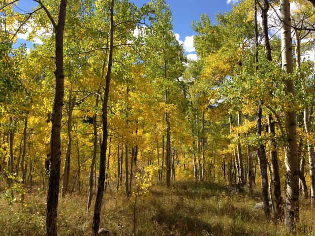 Photo: Surrounded by Aspens