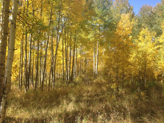 Photo: Golden Aspens
