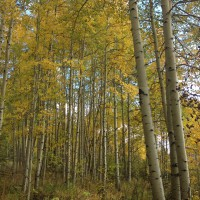 Photo: Tall Aspens